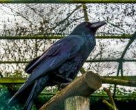 Härligt svart korpsvart sammanträde på en trästråle, fjädrar som reflekterar härliga färger, mytologisk varelse royaltyfri bild