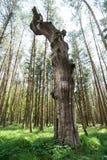 Härligt torrt gammalt träd i grönt gräs och högväxta träd i bakgrund royaltyfria bilder