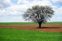 Härligt träd i den plogade jorden Fotografering för Bildbyråer