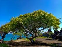 Härligt träd med den breda kronan och hav i horisont royaltyfri bild