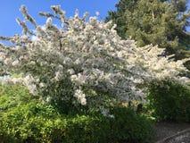 Härligt träd med vita blommor royaltyfri fotografi
