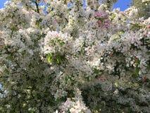 Härligt träd med vita blommor, på våren Royaltyfri Fotografi