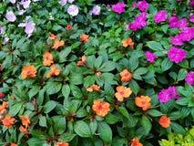 härligt trädgårds- mycket av blommaimpatiens av olika färger Arkivfoto