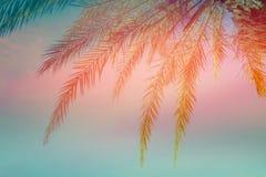 härligt tropiskt för bakgrund Dingla palmträdet lämnar på solnedgångbakgrund för blå himmel Moderiktiga rosa färger för kricka fö royaltyfria bilder