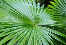 Härligt tropiskt gömma i handflatan leafen Fotografering för Bildbyråer
