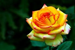 Härligt tropiskt gult rosa slut upp royaltyfria bilder