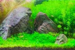 Härligt tropiskt planterat sötvattens- akvarium med fisken royaltyfri bild