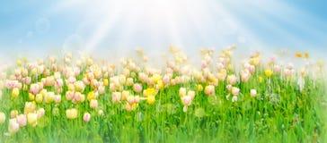 Härligt tulpanfält för vit och för guling i vårtid med solstrålar och bokeh Arkivfoton