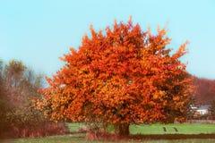 Härligt ursnyggt träd med röd höstlövverk på himmel och landet arkivbild