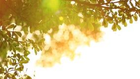 Härligt ut ur fokussolnedgång Solskenthorugh som blåsa på vindträd lämnar