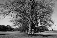 Härligt värdigt träd Arkivbilder