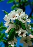 Härligt vårblomningpäron Royaltyfria Foton