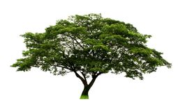 Härligt valnötträd för östlig indier eller träd för saman för regnträd eller Samanea på vit bakgrund med den snabba banan arkivbild