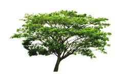 Härligt valnötträd för östlig indier eller träd för saman för regnträd som eller Samanea isoleras på vit bakgrund med den snabba  royaltyfria bilder