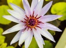 Härligt vatten Lilly In Blossom Royaltyfria Foton