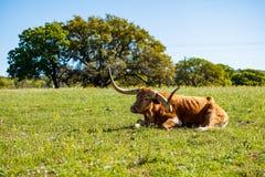 Härligt vila för longhorn Royaltyfri Bild