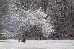 Härligt vinterträd på en gräsmatta Arkivfoto
