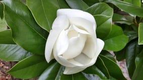 Härligt  Vit magnoliablomma Arkivfoto