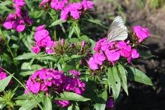 Härligt vitt fjärilssammanträde på blomman Arkivfoton