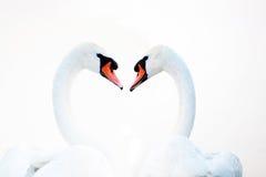 Härligt vitt sväva för svanar arkivfoton