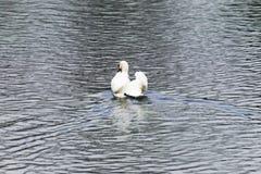Härligt vitt svanbad i sjön Royaltyfria Bilder