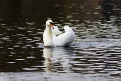 Härligt vitt svanbad i sjön Arkivfoto