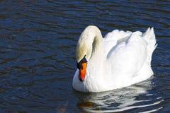 Härligt vitt svanbad i sjön Arkivbild