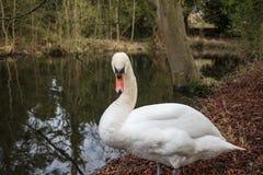 Härligt vuxet sett vila för stum svan på en lövrik flodstrand i Förenade kungariket royaltyfria foton