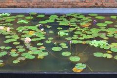 Härligt waterlily eller lotusblommablomman ges en komplimang Royaltyfria Foton