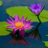 Härligt waterlily eller lotusblommablomman ges en komplimang av Fotografering för Bildbyråer