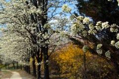 Härligt Whimiscal foto av en lång rad av vårträd i rader av vita träd med gröna blad med filialer arkivfoton