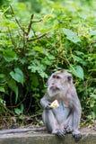Härma äta frukt i ubudskogen, Bali Arkivbilder