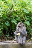 Härma äta frukt i ubudskogen, Bali Royaltyfria Foton