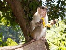 Härma att äta en banan, Goa, Indien royaltyfri foto