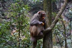 Härma att äta en tangerinfrukt på ett träd Arkivbild