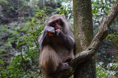 Härma att äta en tangerinfrukt på ett träd Arkivfoton