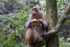 Härma att äta en tangerinfrukt på ett träd Royaltyfria Foton