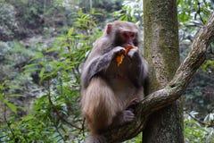 Härma att äta en tangerinfrukt på ett träd Royaltyfri Foto