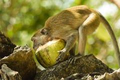Härma att gräva in i en kokosnöt royaltyfria foton