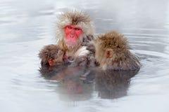 Härma den japanska macaquen, Macacafuscataen, familj med behandla som ett barn i vattnet Stående för röd framsida i kalla vattnet royaltyfri bild