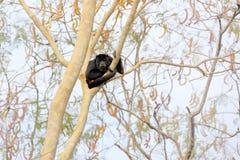 Härma den svarta grodan, Alouattacarayaen, naturlivsmiljö Svart apasammanträde i träd för skogsvartapa Djur i Pantanal, Brazi Royaltyfri Bild
