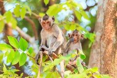 Härma familjen (som Krabba-äter macaquen) på träd Royaltyfria Foton