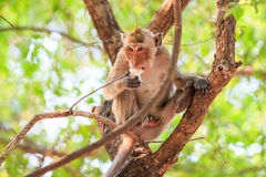 Härma (Krabba-äta macaquen) att äta mat på träd Fotografering för Bildbyråer
