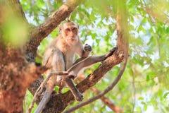 Härma (Krabba-äta macaquen) att äta mat på träd Royaltyfri Bild