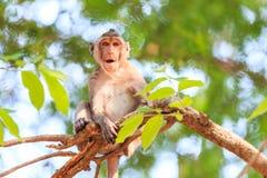 Härma (Krabba-äta macaquen) på träd Arkivbild