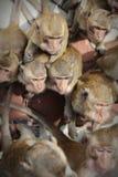 Härmar ståenden som äter bananer royaltyfria bilder