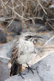 Härmfågel Arkivbild