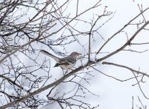 härmfågel Royaltyfria Foton