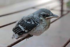 härmfågel Royaltyfri Fotografi