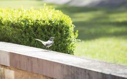 härmfågel för clipping som 3d är nordlig över white för banaframförandeskugga Royaltyfri Fotografi